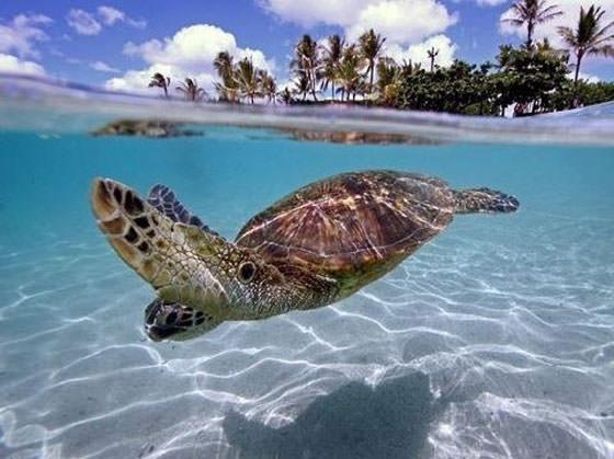 черепаха в чистейшей воде