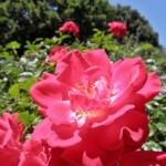 Крымские розы назвали в честь Терешковой