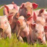 Чума свиней распространяется