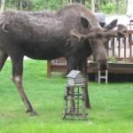 О семье спасенных лосей на Волыни сняли аматорский фильм