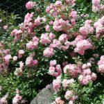 5 неприхотливых роз для дачи